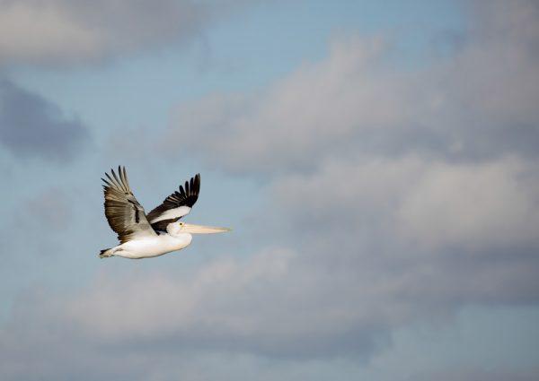 Australian Pelican WASR eCard Front