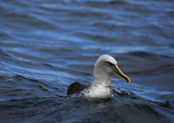 Bullers Albatross WASR eCard Front