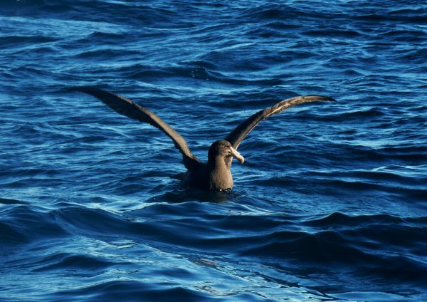 Northern Giant Petrel eCard Front